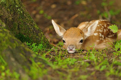 Just born young fallow deer Stock Image