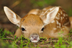 Just born young fallow deer Stock Photo