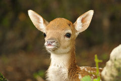 Just born young fallow deer. Just born cute young fallow deer lying on the grass Royalty Free Stock Image