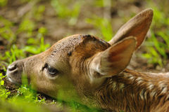 Just born young fallow deer Stock Photography