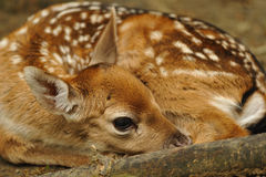 Just born young fallow deer Royalty Free Stock Photos