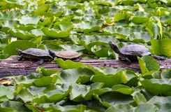 Just a bunch of turtles  sitting on a log. A family of turtles on a log in a pond full of lily pads Royalty Free Stock Photos
