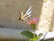 Just butterfly greece Rhodos stock photography