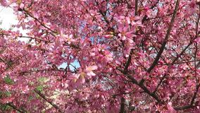 Just Came into Bloom in March. Video of spring pink flowers that just came into bloom in mid march with the wind blowing. These are okame cherry blossoms stock video