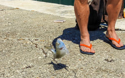 Just caught fish. Just caught Gilt head sea bream on the island Lastovo in Croatia Stock Image