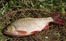 Just caught rudd lying on fishing net Stock Photo