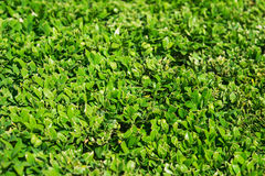 Just clipped boxwood bush, a little blurred Royalty Free Stock Photos