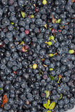 Just collected ripened wild blueberries with green leaves Royalty Free Stock Images