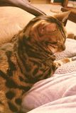 Just cuddle. Bengal Cat cuddling Royalty Free Stock Images