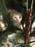 Cats love Christmas trees. Just a curious cat under the Christmas tree Royalty Free Stock Image
