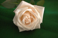 Just cut creamy white rose covered in tiny water droplets on a green tablecloth royalty free stock photos