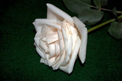 Just cut creamy white rose with stem and leaves Royalty Free Stock Images