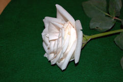 Just cut creamy white rose with stem and leaves Royalty Free Stock Photo