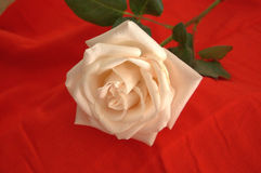 Just cut creamy white rose with stem and leaves Stock Photography
