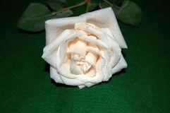 Just cut creamy white rose with stem and leaves that has been slightly altered in color and solarized. Fully opened white rose covered with tiny clear water Stock Photo