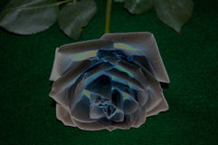 Just cut creamy white rose with stem and leaves that has been slightly altered in color and solarized. A slight Alterning of a Fully opened white rose with stem Royalty Free Stock Photography