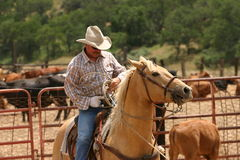 Just a day at work. Cowboy on palomino horse with rope at branding stock photography