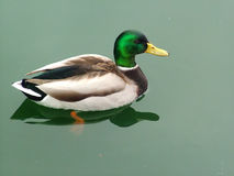 Just Ducky. Male Mallard swimming on calm pond stock photos