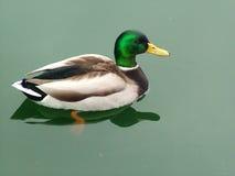 Just Ducky. Male Mallard swimming on calm pond Stock Photos