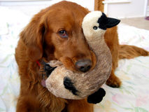 Just Ducky. This Golden retriever enjoys his stuffed animal toys. His favorite is this ducky royalty free stock photo