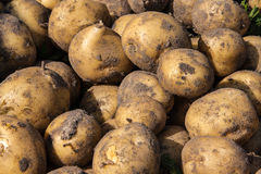 Just dug fresh potatoes Stock Image
