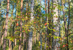 Just a forest. Autumn woods somewhere in Siberia Royalty Free Stock Image
