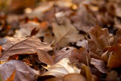 Brown leaves forest in autumn