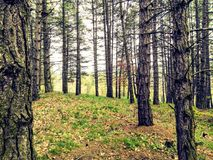 Just forest royalty free stock images
