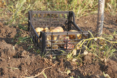 Just fresh dug potatoes in a box Royalty Free Stock Photos
