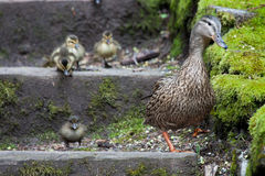 Just going for a walk in the park. Mother mallard taking her little ones down the steps at the park heading towards the water Stock Photos