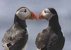Just good friends. Two Atlantic puffins regard one another up close Royalty Free Stock Photo