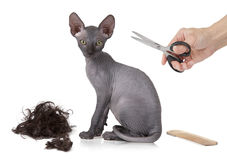 Just haircutted kitty cat Royalty Free Stock Photo