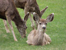 Just Hangin' Out. Wild fawn with her Mom and another Doe stock photos