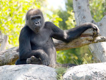 Just Hangin Out. A big ape posing for the camera. This guy can be found at the San Diego zoo stock image