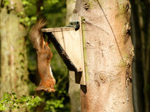 Just hanging around. A Northumberland red squirrel royalty free stock image