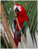 Just Hanging. Colorful Parrot hanging on to branch Royalty Free Stock Photography