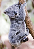 Just hanging koala Stock Photos