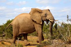 Happy Elephant Walk. Just a happy Elephant in South Africa Royalty Free Stock Images