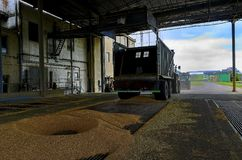 Just harvested corn inside a trailer. Grain poured from trailer into a silo for processing. stock photo