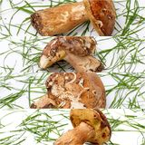 Just harvested mushrooms . boletus edulis, collage Royalty Free Stock Photos