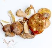 Just harvested mushrooms . boletus edulis Royalty Free Stock Image