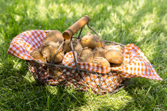 Just harvested new potatoes in a metallic basket. Close-up of just harvested new potatoes in a checkered cloth in a metallic basket on grass Stock Photography