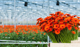 Free Just Harvested Orange Colored Gerbera Flowers In A Dutch Flower Stock Photo - 30404680