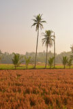 Just harvested paddy field in rural countryside area during sunrise Royalty Free Stock Photography