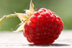 Just harvested raspberry glowing on sunlight. Raspberry glowing with sunlight on natural wooden-green background/ Harvested seconds before shooting - not a Stock Image