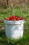 Just harvested ripe red organic apples in a plastic pail. Image of a stock photography
