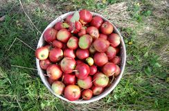 Just harvested ripe red organic apples in a plastic pail. Image of a stock photos