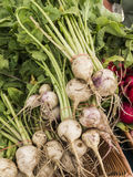Just harvested turnips Stock Photography