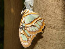 Just hatched. This is a butterfly just coming out if its cocoon stock photos