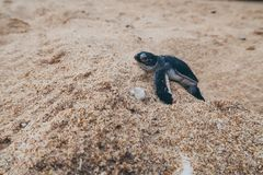 Just hatched baby sea turtle on it`s way to the ocean, Sri Lanka royalty free stock images